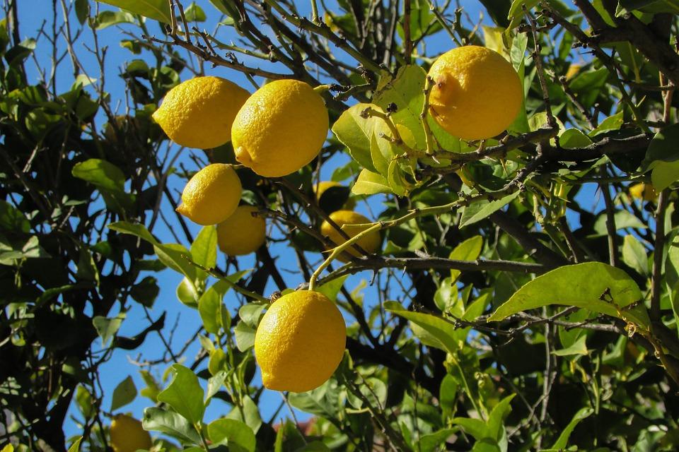 lemon-tree-1878505_960_720