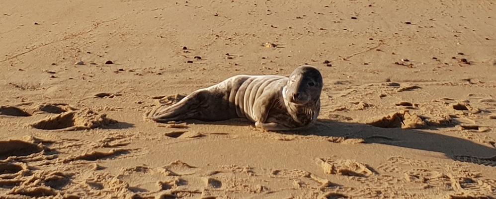 Un bébé phoque est venu s'échouer sur nos côtes